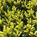 Kanadensisk prydlig Piceaglauca Conica Vit gran Dekorativt barrträds- vintergrönt träd med en nyckelpiga i vår royaltyfri foto