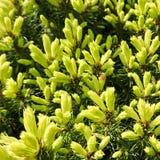 Kanadensisk prydlig Piceaglauca Conica Vit gran Dekorativt barrtr?ds- vintergr?nt tr?d med en nyckelpiga i v?r arkivbilder