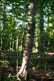 Kanadensisk skog i morgonen arkivbilder