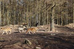 Kanadensisk varg i wildpark i Kanada royaltyfria foton