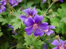 Kanadensisk violet Royaltyfria Bilder