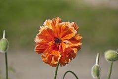 Kanadensiska Burnet i blom Arkivfoto