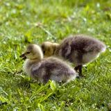kanadensiska goslings Arkivbild