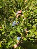 Kanadensiska lösa blåbär Fotografering för Bildbyråer