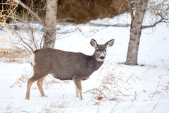 Kanadensiska mulahjortar i snön Arkivfoto