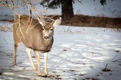 Kanadensiska mulahjortar i snön Arkivbild