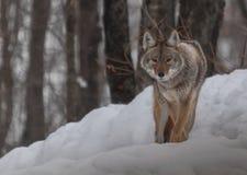 Kanadensiska prärievargar i snön Arkivfoton