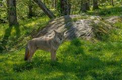 Kanadensiska prärievargar i sommaren Arkivfoto