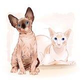 kanadensiska sfinxkatter för par stock illustrationer
