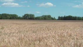 Kanadensiskt vetefält på en solig blåsig dag arkivfilmer