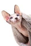Kanadier Sphynx-Katze mit dem gestrickten Schal lokalisiert auf weißem Hintergrund Lizenzfreie Stockbilder