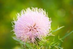 Kanadische Distel in der Blüte Lizenzfreies Stockfoto