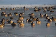 Kanadische Gänse auf gefrorenem Teich Stockfotos