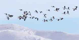 Kanadische Gänse, die über die Winterhügel fliegen stockfoto