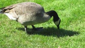 Kanadische Gänse, die auf Gras bei Stanley Park einziehen stock footage