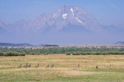 Kanadische Gänse, die durch ein Feld unter einen Berg gehen Stockbilder