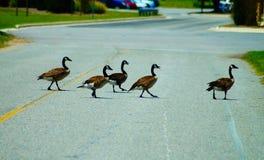 Kanadische Gänse, die eine Straße kreuzen stockbild
