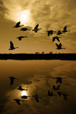 Kanadische Gänse am Sonnenuntergang Lizenzfreie Stockbilder