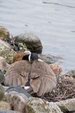 Kanadische Gans, die auf Nest im Vorfrühling legt stockbilder
