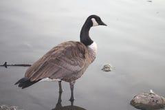 Kanadische Gans, die im Teich steht Stockbilder