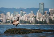 Kanadische Gans, die vor Vancouver schaut Stockbild
