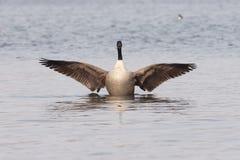 Kanadische Gans mit verbreiterten Flügeln Stockbild
