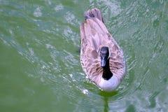 Kanadische Gansschwimmen in Richtung zu Ihnen auf grünem Seewasser stockbilder