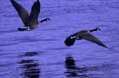 Kanadische Schnee-Gänse fliegen niedrig über purpurrotes Wasser Stockbilder