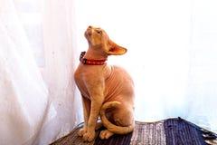 Kanadische Sphinxkatze stockfotografie
