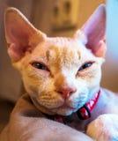 Kanadische Sphinxkatze lizenzfreie stockbilder