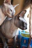 Kanadische sphynx Katze Stockfotos