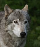 Kanadischer Bauholzwolf Lizenzfreies Stockfoto