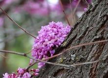Kanadischer Cercis ist ein schöner dekorativer Baum Lizenzfreie Stockbilder