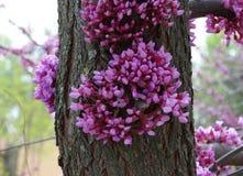 Kanadischer Cercis ist ein schöner dekorativer Baum Lizenzfreies Stockfoto