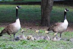 Kanadischer Gans-Blick und Goslings-Familie, Branta canadensis Maxima, in einem Park Stockfoto