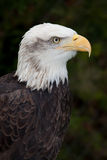 Kanadischer kahler Adler Lizenzfreies Stockfoto