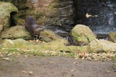 Kanadischer Otter Lizenzfreies Stockbild