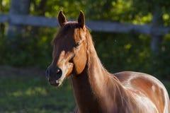 Kanadisches Pferd Lizenzfreie Stockfotos