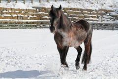 Kanadisches Pferd auf dem schneebedeckten Gebiet Lizenzfreie Stockfotos