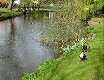 Kanadyjczyk nurkuje przy brytyjską rzeką w wiośnie zdjęcia royalty free