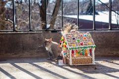 Kanadyjczyk popielata wiewiórka obok Bożenarodzeniowego piernikowego domu Zwierzę i boże narodzenia Zdjęcie Royalty Free