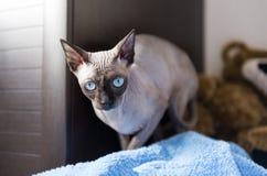 Kanadyjczyk Sphynx, łysy kot z niebieskimi oczami na leżance obrazy royalty free