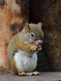 Kanadyjczyk Squirre obrazy royalty free