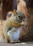 Kanadyjczyk Squirre fotografia royalty free