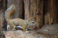 kanadyjczyk wiewiórka zdjęcia stock