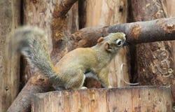 kanadyjczyk wiewiórka fotografia stock