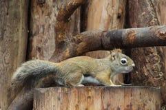 kanadyjczyk wiewiórka zdjęcie stock