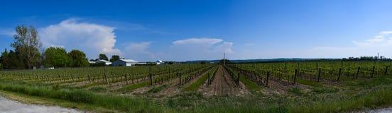 Kanadyjczyka wina lodowy winnica w lecie Zdjęcia Royalty Free