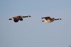 kanadyjska latająca gąska Zdjęcia Stock