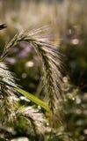 Kanadyjska żyto trawa fotografia stock